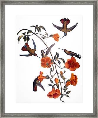 Audubon: Hummingbird Framed Print by Granger