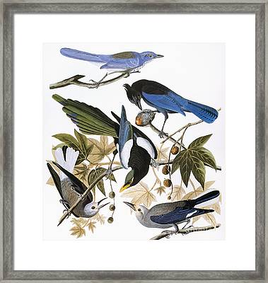Audubon: Jay And Magpie Framed Print by Granger
