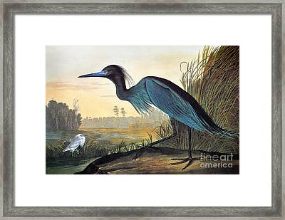 Audubon: Little Blue Heron Framed Print by Granger
