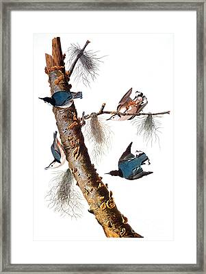 Audubon: Nuthatch Framed Print by Granger