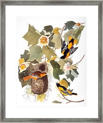 Audubon: Oriole Framed Print by Granger