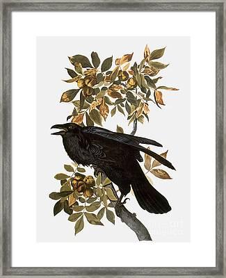 Audubon: Raven Framed Print by Granger