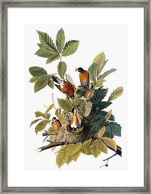 Audubon: Robin Framed Print by Granger