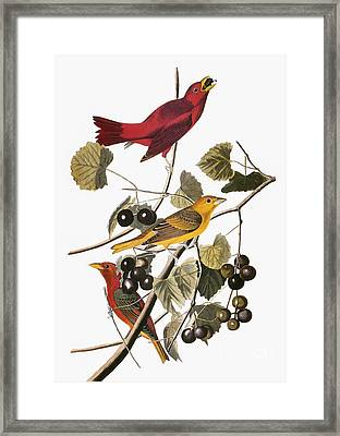 Audubon: Tanager Framed Print by Granger