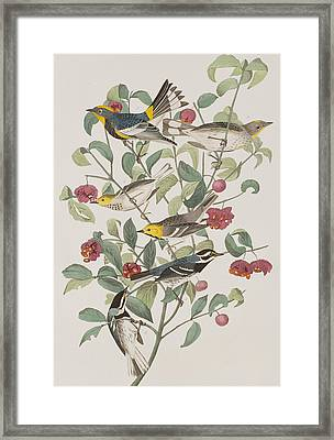 Audubons Warbler Hermit Warbler Black-throated Gray Warbler Framed Print by John James Audubon