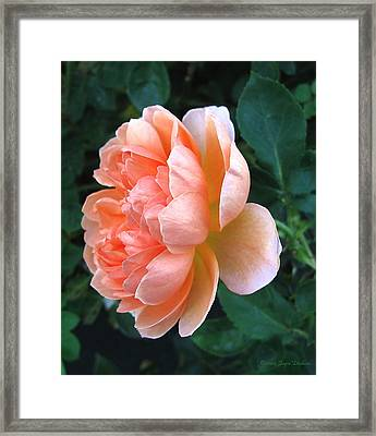 Framed Print featuring the photograph August Rose 09 by Joyce Dickens