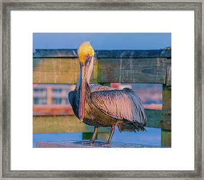 Augustine Pelican Framed Print by Betsy Knapp