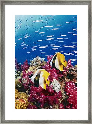 Australia, Bannerfish On The Great Barrier Reef (digital Composite) Framed Print
