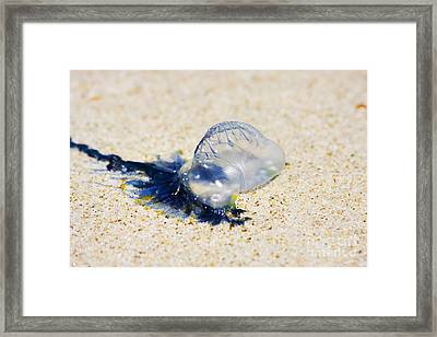 Australian Blue Bottle Jellyfish Framed Print