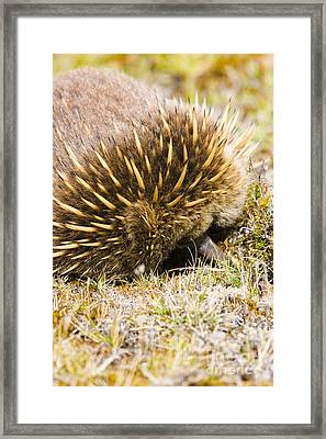 Australian Echidna Burrowing Up Ants Nest Framed Print by Jorgo Photography - Wall Art Gallery