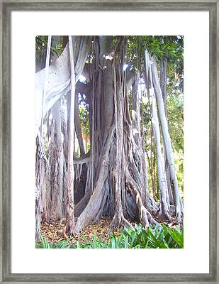 Australian Fig Tree Framed Print