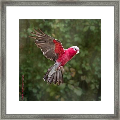 Australian Galah Parrot In Flight Framed Print