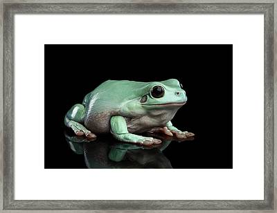 Australian Green Tree Frog, Or Litoria Caerulea Isolated Black Background Framed Print