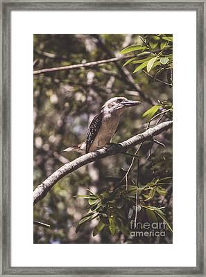Australian Kookaburra Framed Print by Jorgo Photography - Wall Art Gallery