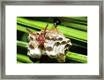 Australian Papper Wasp 772 Framed Print