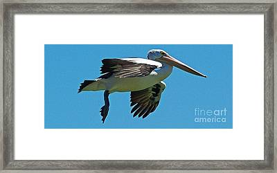 Australian Pelican In Flight Framed Print by Blair Stuart