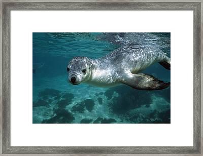 Australian Sea Lion Neophoca Cinerea Framed Print by Hiroya Minakuchi