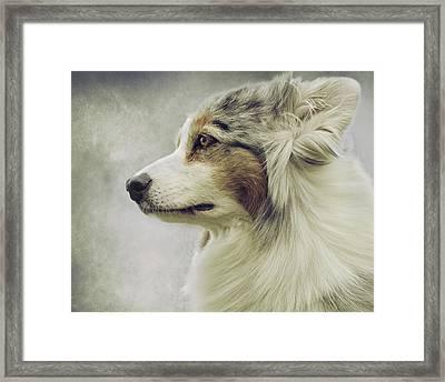 Australian Shepherd Portrait 1 Framed Print by Wolf Shadow  Photography