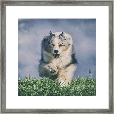 Australian Shepherd Running Framed Print by Wolf Shadow  Photography