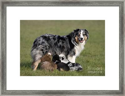 Australian Shepherd With Pups Framed Print by Jean-Louis Klein & Marie-Luce Hubert