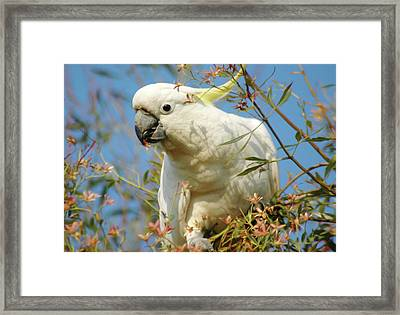 Australian Sulphur Crested Cockatoo Framed Print by Georgiana Romanovna