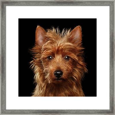 Australian Terrier Framed Print by Sergey Taran