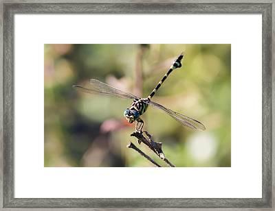 Australian Tiger Dragonfly Framed Print by Teale Britstra