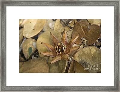 Autograph Tree Seed Capsule Framed Print by Inga Spence
