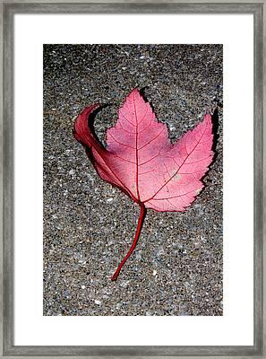 Autum Maple Leaf 2 Framed Print by Robert Morin
