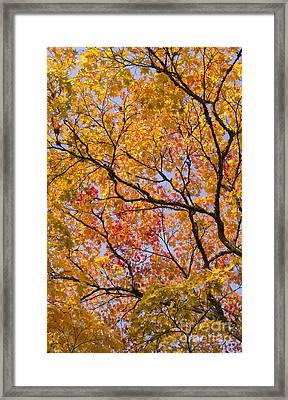 Autumn Acer Palmatum Matsumurae Framed Print by Tim Gainey