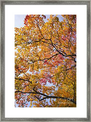 Autumn Acer Palmatum Framed Print by Tim Gainey