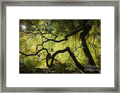 Autumn Acer Sunlight Framed Print by Tim Gainey