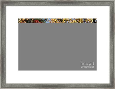 Autumn Acer Vitifolium Framed Print