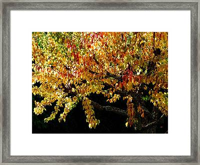 Autumn Apricot Tree Framed Print by Will Borden