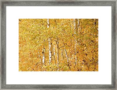 autumn aspen leaves Populus tremuloides Framed Print by Ed Book