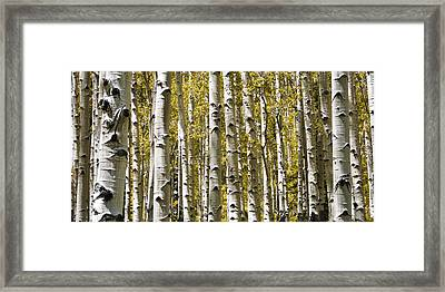 Autumn Aspens Framed Print by Adam Romanowicz