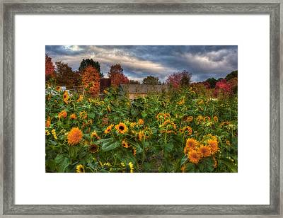 Autumn Barn In A Field Of Sunflowers Framed Print by Joann Vitali