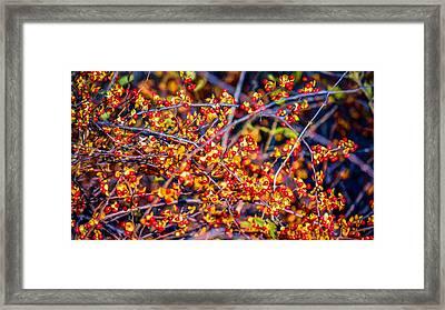 Climbing Bittersweet Cluster Framed Print