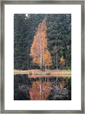 Autumn Birch By The Lake Framed Print by Michal Boubin