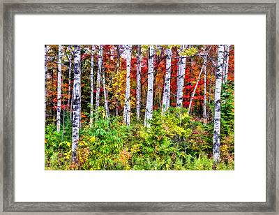 Framed Print featuring the painting Autumn Birches by Christopher Arndt