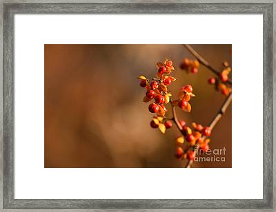 Autumn Bittersweet Framed Print by Rowena Throckmorton