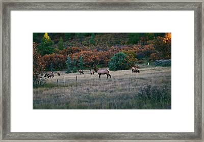 Autumn Bull Elk Framed Print by Jason Coward