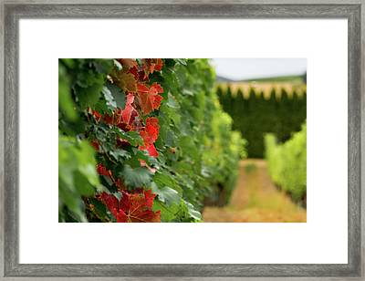 Autumn Comes To The Vineyard Framed Print
