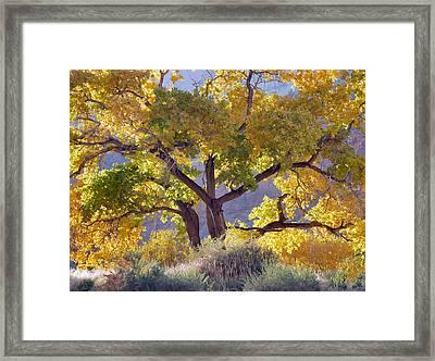 Autumn Cottonwood - Zion Framed Print