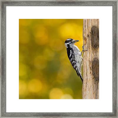 Autumn Downy With A Seed Framed Print by Bill Tiepelman