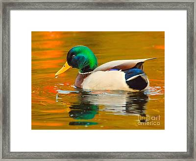 Autumn Duck Framed Print