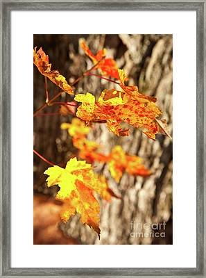 Autumn Fall Color Maple Leaves In The Blue Ridge Framed Print by Dan Carmichael
