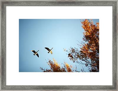 Autumn Geese Framed Print