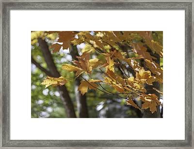 Autumn Gold Framed Print by Teresa Mucha