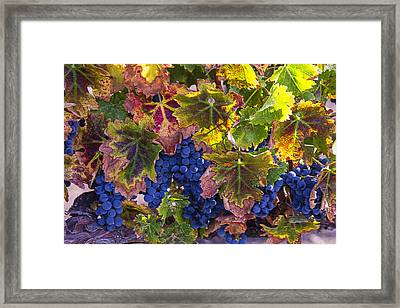 autumn Grapes Framed Print by Garry Gay